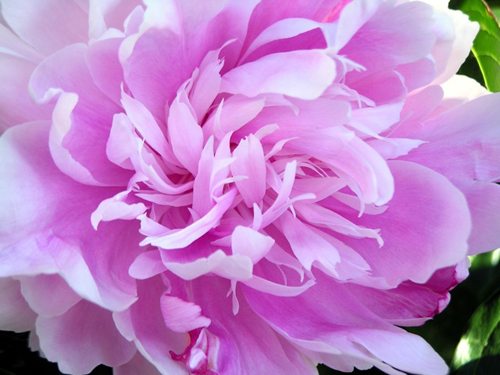 http://nwasianweekly.com/wp-content/uploads/2014/33_19/brief_peonies.jpeg