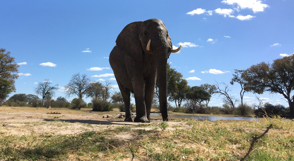 A young bull elephant visits a waterhole in Hwange National Park. (Credit: G. Tang)