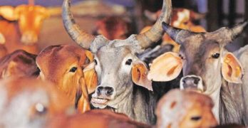 South Indian court orders 4 week stay on cow slaughter rules