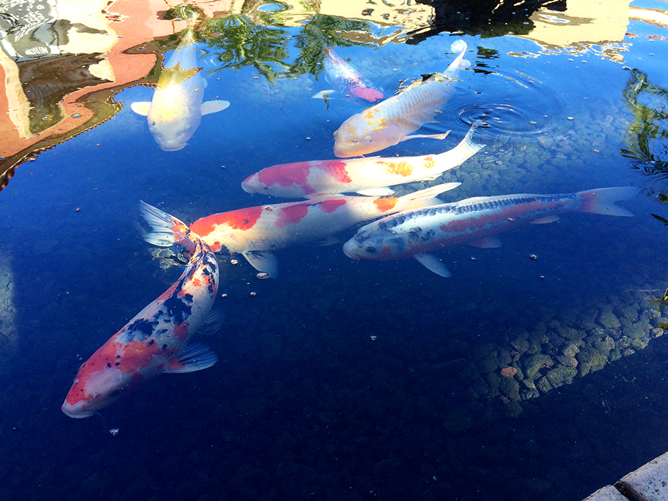 Blog eat fish luck will follow fish traditions in my for Can you eat koi fish
